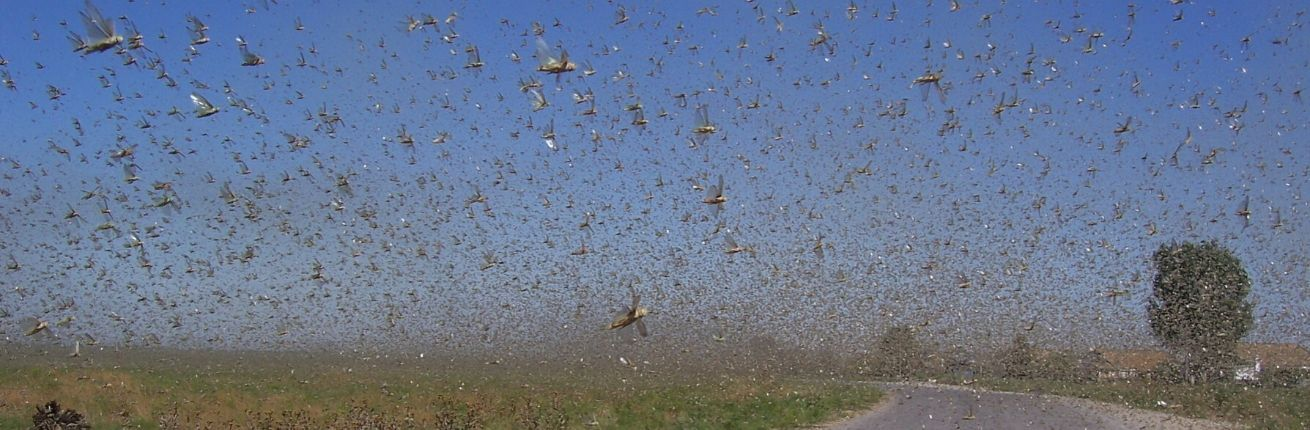 Sprinkhanenplaag teistert Oost Afrika