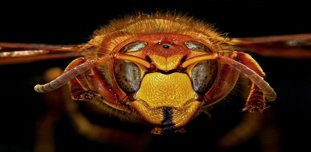 Kop van een hoornaar