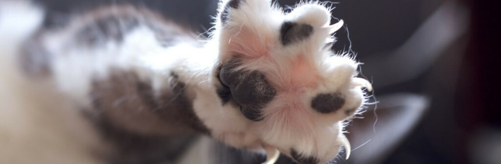 kattenklauwtje