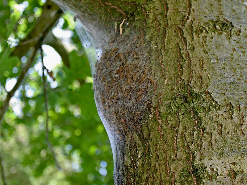 Een nest van eikenprocessierupsen. /Foto's: De Vlinderstichting
