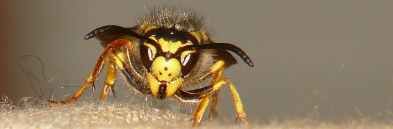 Wat te doen bij wespensteek